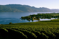 Image: Okanagan Lake with green vineyard in foreground.