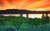 Image: orchard with Okanagan Lake, mountains & sunset sky.