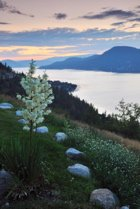 Image: Okanagan sunrise with mountains, lake and Yucca flowers.