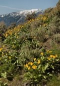 Image: spring balsam flowers on mountain side near Kelowna, BC